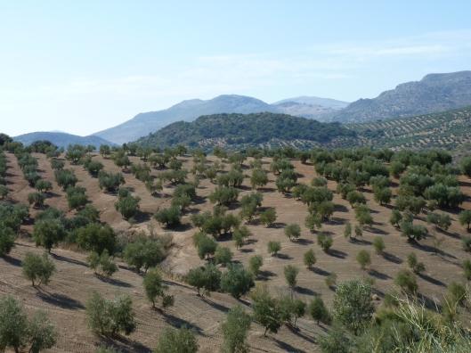 Olijfboomgaarden Provincie Cordoba